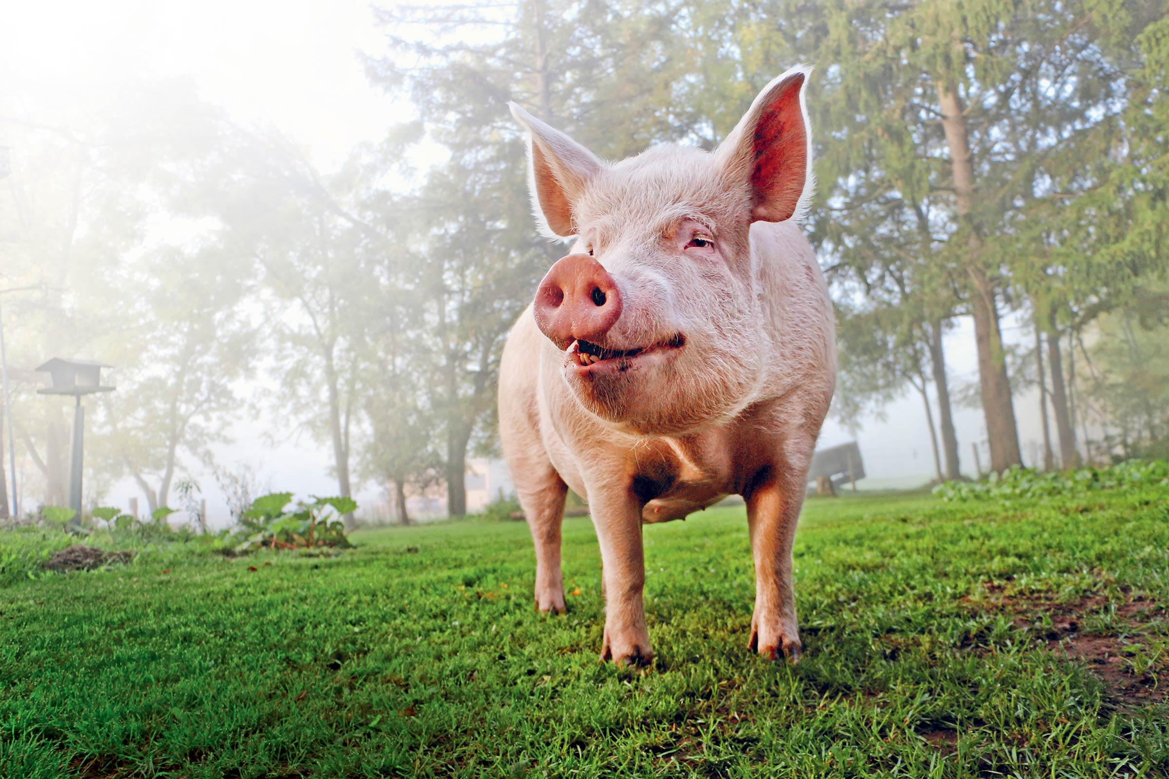 Pig Farm To Table Blog Post Image